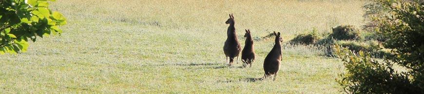 Kangaroo Valley Kangaroos